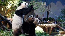 Πάρτι γενεθλίων για τα μοναδικά γιγαντιαία τρίδυμα panda στον κόσμο!