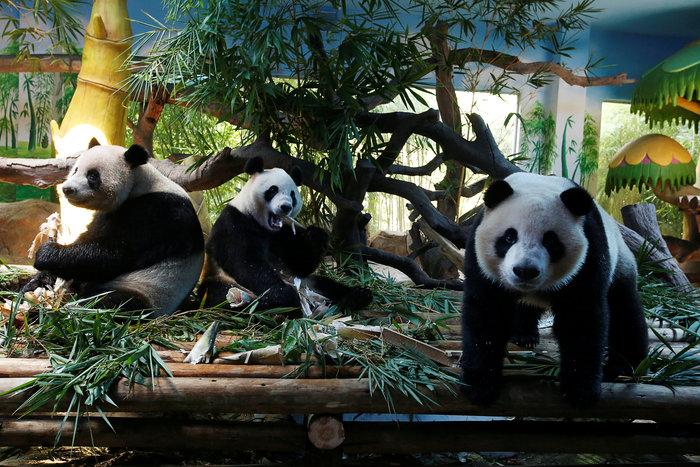 Πάρτι γενεθλίων για τα μοναδικά γιγαντιαία τρίδυμα panda στον κόσμο! - εικόνα 2