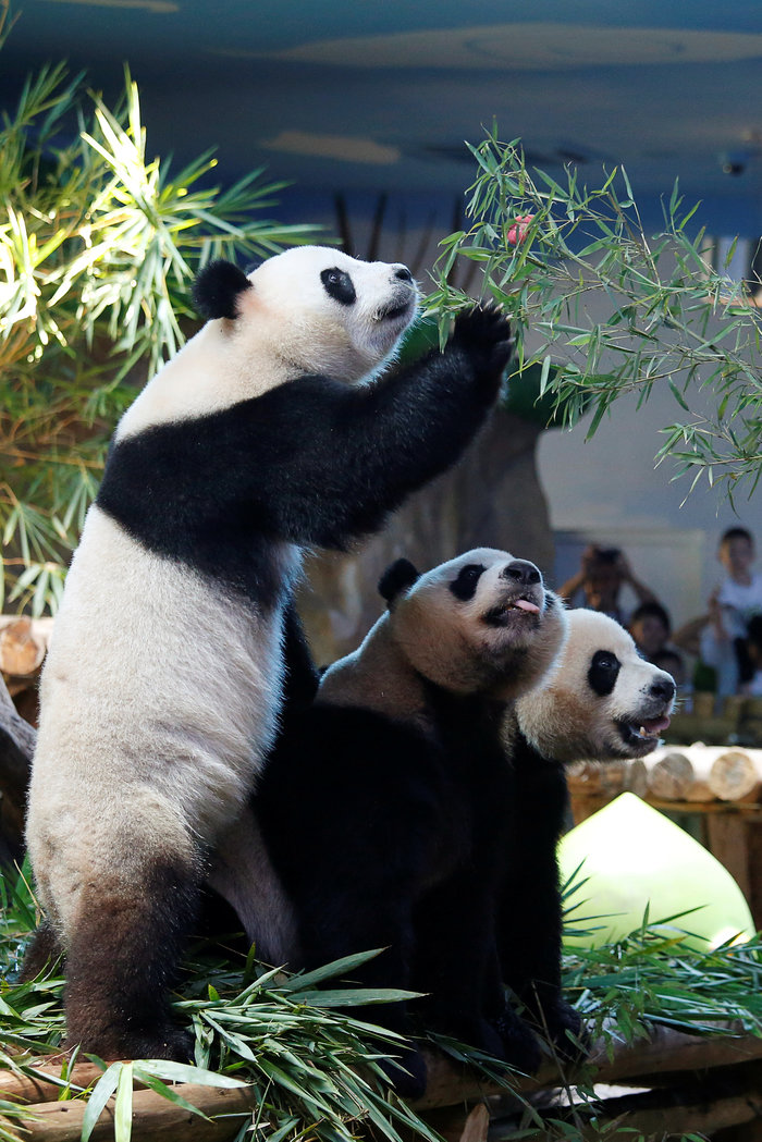 Πάρτι γενεθλίων για τα μοναδικά γιγαντιαία τρίδυμα panda στον κόσμο! - εικόνα 3