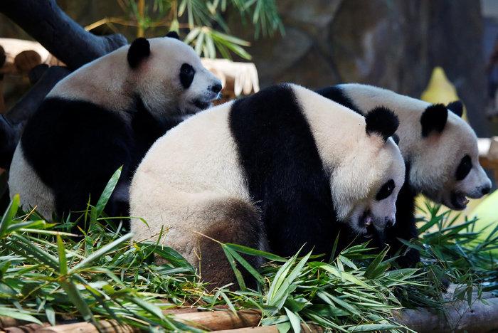 Πάρτι γενεθλίων για τα μοναδικά γιγαντιαία τρίδυμα panda στον κόσμο! - εικόνα 7