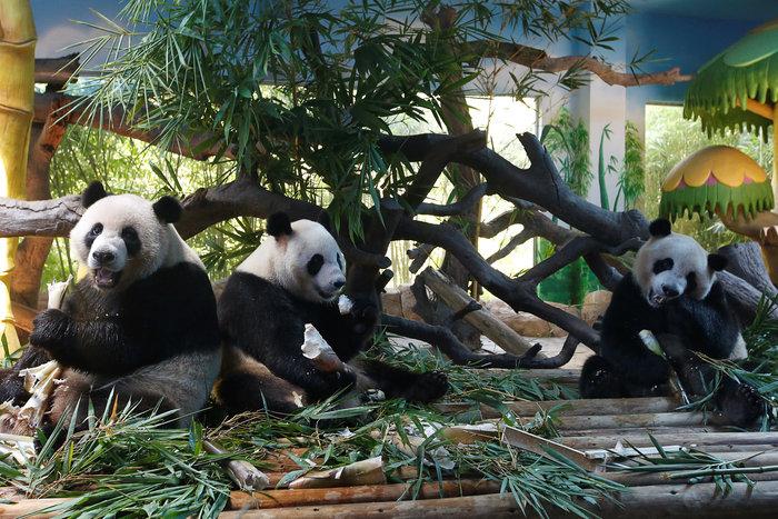 Πάρτι γενεθλίων για τα μοναδικά γιγαντιαία τρίδυμα panda στον κόσμο! - εικόνα 8