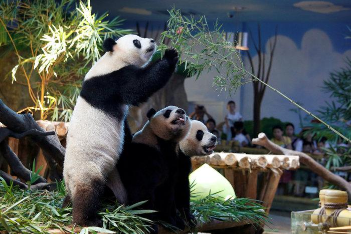 Πάρτι γενεθλίων για τα μοναδικά γιγαντιαία τρίδυμα panda στον κόσμο! - εικόνα 10