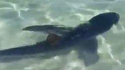 Μαγιόρκα: Καρχαρίας βγήκε στα ρηχά για... περιπολία [βίντεο & φωτό]