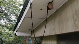 Viral: Γέφυρα από χιλιάδες μυρμήγκια προς σφηκοφωλιά για να τη κατακτήσουν