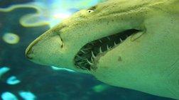 Έπιασαν λευκό καρχαρία στη Σαμοθράκη - Γιατί τον άφησαν ελεύθερο