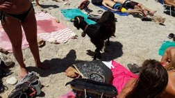Η επίσκεψη της πεινασμένης κατσίκας σε παραλία στην Κρήτη