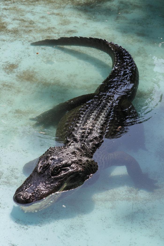 Ο γηραιότερος αλιγάτορας στον κόσμο επέζησε από πολέμους & βομβαρδισμούς - εικόνα 2
