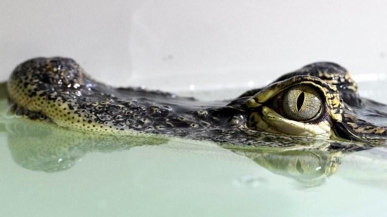 epithesi-aligatora-eswse-ton-skulo-tis-alla-oxi-ton-eauto-tis