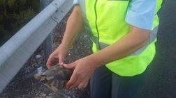 Αστυνομικοί έσωσαν χελώνα που είχε «βγει» στην Εθνική