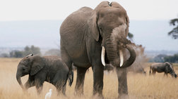 friki-87-elefantes-thanatwthikan-kai-gdarthikan-apo-lathrokunigous