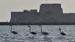 Στο Ναύπλιο 30 πανέμορφα φλαμίνγκο (Εικόνες και βίντεο)