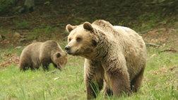 Αρκούδα μπήκε σε μαντρί στα Τρίκαλα