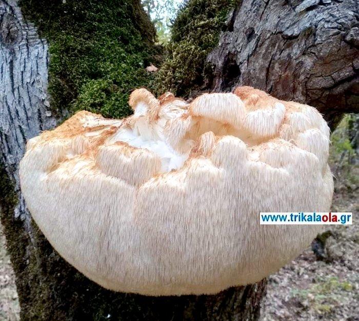 Βρήκαν μανιτάρι γίγας 5,5 κιλών στα Τρίκαλα - εικόνα 2