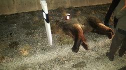 Νεκρή αρκούδα 390 κιλών σε τροχαίο στην Καστοριά