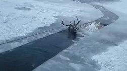 Διέσωσαν ελάφι από παγωμένη λίμνη στη Σιβηρία (βίντεο)
