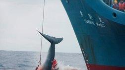 Το Τόκιο αποσύρεται από τη Διεθνή Επιτροπή Φαλαινοθηρίας