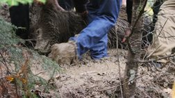 Αρκούδα βρέθηκε δηλητηριασμένη και αποκεφαλισμένη