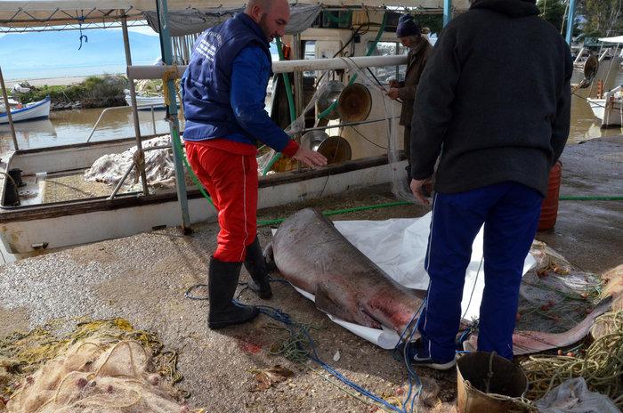Μεγάλη ψαριά στη Νέα Κίο - Πάνω από 150 κιλά το σκυλόψαρο! (φωτό)