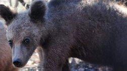 Τα πέντε ορφανά αρκουδάκια του Αρκτούρου σε χειμέριο λήθαργο