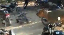 Πανικός σε χωριό της Ινδίας από ένα λιοντάρι (βίντεο)