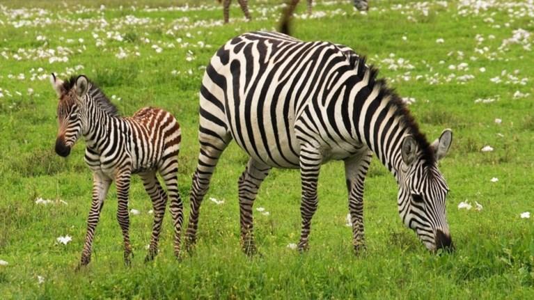 giati-i-zebra-exei-rabdwseis
