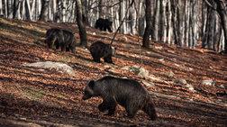"""Με μια απουσία, ξύπνησαν οι αρκούδες στο καταφύγιο του """"Αρκτούρου"""""""