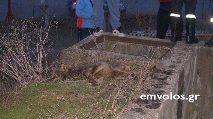 Διέσωσαν παγιδευμένο λύκο στο Πλατύ Ημαθίας [φωτό & βίντεο] - εικόνα 3