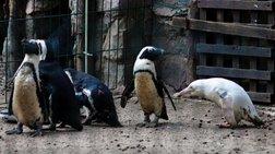 Πρώτη δημόσια εμφάνιση για τον αλμπίνο πιγκουίνο
