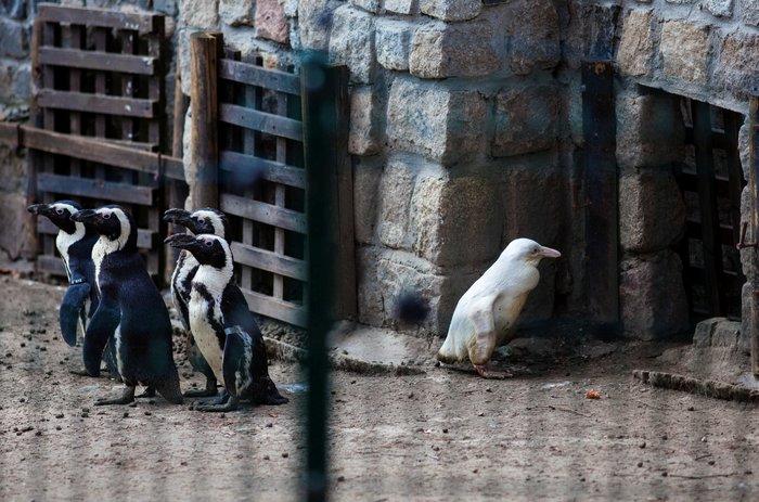 Πρώτη δημόσια εμφάνιση για τον αλμπίνο πιγκουίνο - εικόνα 2