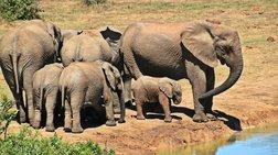 """Σώθηκαν έξι ελεφαντάκια, οι """"Ντάμπο"""" της Ταϊλάνδης"""