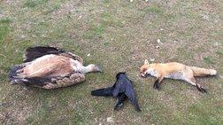 Θράκη: Σκότωσαν πέντε σπάνια αρπακτικά πουλιά μέσα σε ένα μήνα