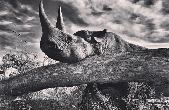 Ο ρινόκερος του Χάρι