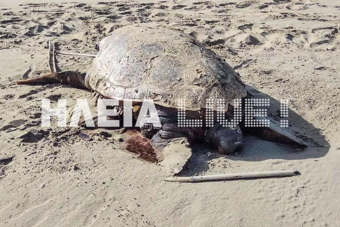 Καταγγελίες για θανάτωση χελώνων Caretta-Caretta στην Ηλεία - εικόνα 2