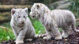 Δύο αδελφάκια λευκά τιγράκια στη Μανάγκουα από το Μεξικό