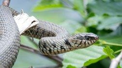 Υπάλληλος είπε ότι φίδι έφαγε χαρτονομίσματα 100.000 ευρώ, αλλά δεν έπεισε