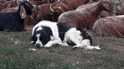 Χαλκιδική: Οκτώ μήνες φυλακή σε κυνηγούς που δηλητηρίασαν επτά σκύλους