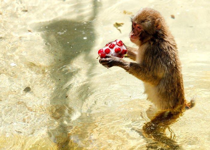 Μακάκος αναζητά ανακούφιση από τη ζέστη καθώς τρώει παγωμένο φαγητό σε ζωολογικό κήπο στη Ρώμη