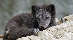 Μια μικρή αρκτική αλεπού έκανε ταξίδι 3.500 χλμ. σε λιγότερες από 80 μέρες