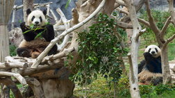 Γεννήθηκαν δίδυμα και τα πιο παχουλά Panda υπό αιχμαλωσία
