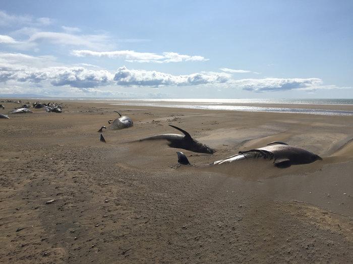 Ισλανδία: Εκβράσθηκαν 50 φάλαινες-πιλότοι δεύτερη φορά σε 2 εβδομάδες