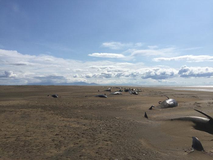 Ισλανδία: Εκβράσθηκαν 50 φάλαινες-πιλότοι δεύτερη φορά σε 2 εβδομάδες - εικόνα 2