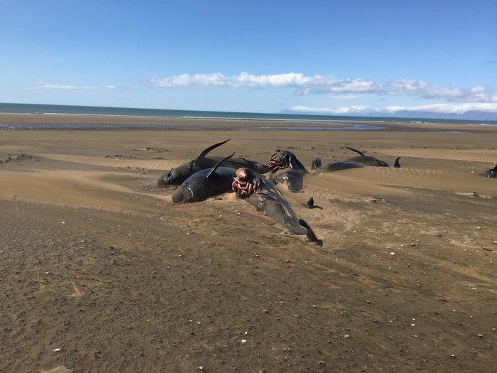 Ισλανδία: Εκβράσθηκαν 50 φάλαινες-πιλότοι δεύτερη φορά σε 2 εβδομάδες - εικόνα 3