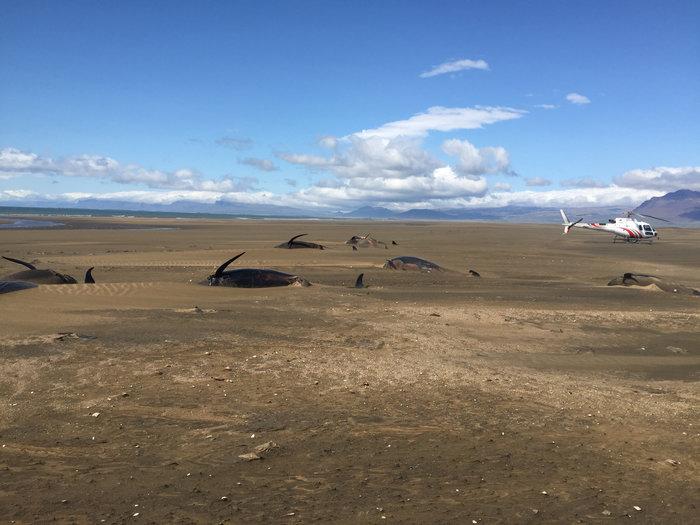 Ισλανδία: Εκβράσθηκαν 50 φάλαινες-πιλότοι δεύτερη φορά σε 2 εβδομάδες - εικόνα 4