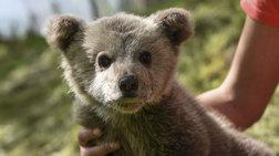 Κινητοποίηση για μικρό αρκουδάκι στα Ιωάννινα