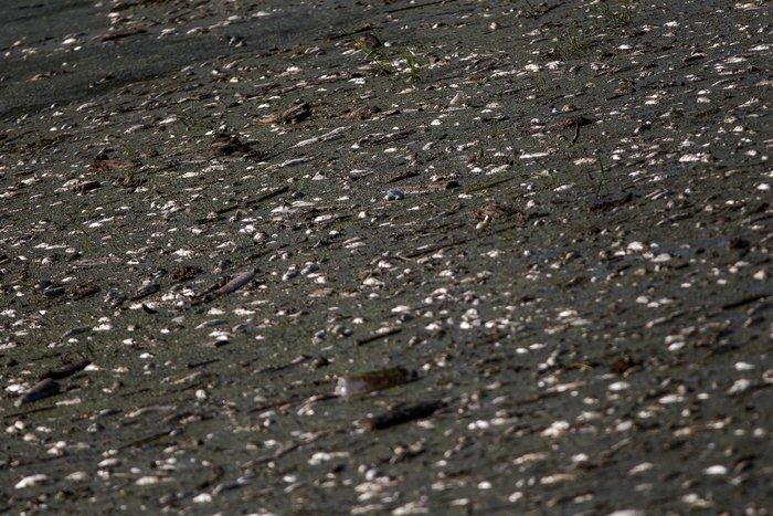 Εκατοντάδες νεκρά ψάρια στον Πηνειό ποταμό [Εικόνες] - εικόνα 4