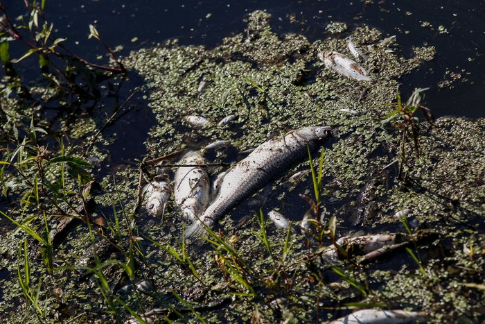 Εκατοντάδες νεκρά ψάρια στον Πηνειό ποταμό [Εικόνες] - εικόνα 6