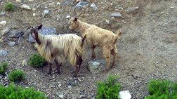 Welt: Οι κατσίκες στη Σαμοθράκη καταστρέφουν το νησί