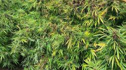 Ηράκλειο: Εντοπίστηκε φυτεία 104 δενδρυλλίων κάνναβης