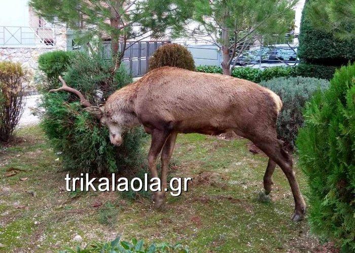 Ελάφι έκοβε βόλτες σε κήπους στους Θρακομακεδόνες - Βίντεο
