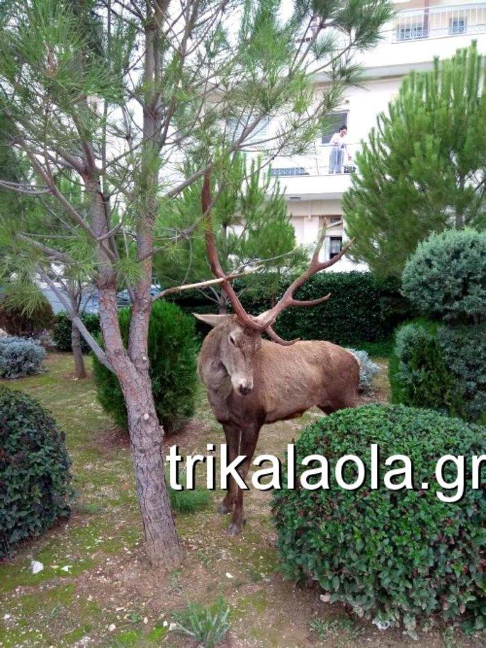 Ελάφι έκοβε βόλτες σε κήπους στους Θρακομακεδόνες - Βίντεο - εικόνα 2